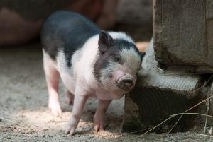 Piglet Saved