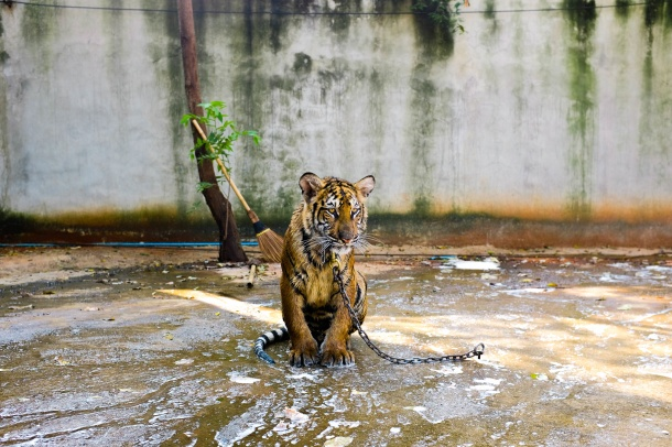 zoo, captivity, animals, animal rights, tiger, advocacy, vegan