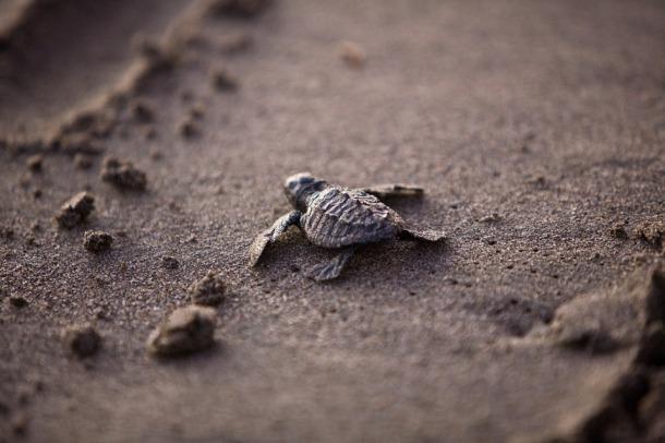 sea turtles, turtle eggs, turtle conservation