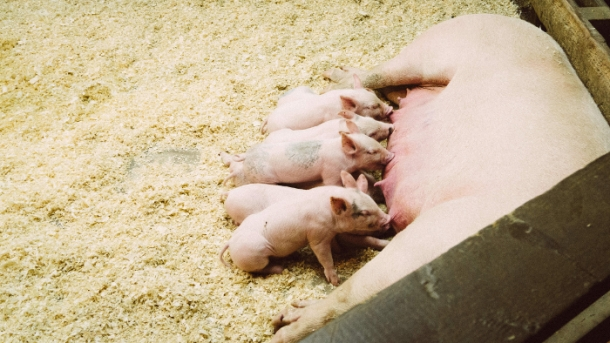 pigs, piglets, vegan, vegetarian, factory farming, plant based